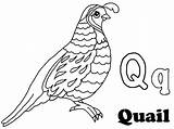 Quail Coloring Clipart Outline Alphabet Pages Preschool California Drawing Clip Kindergarten Animal Crafts Getdrawings Webstockreview sketch template