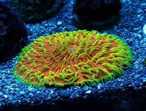 LPS Spotlight: Cycloseris Plate Coral | REEF2REEF ...