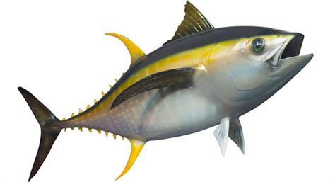 Yellow Boat Rental San Diego by 257 Pound Yellowfin On 14 Day Trip San Diego Reader