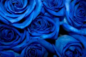 Blue Roses by dchandan on DeviantArt
