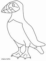 Puffin Coloring Pages Colouring Birds Template Atlantic Animals Puffins Sheet Sheets Activity Clipart Lbx Advertisement Results Coloringhome sketch template