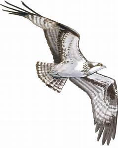 Drawing Hawks in Flight - John Muir Laws