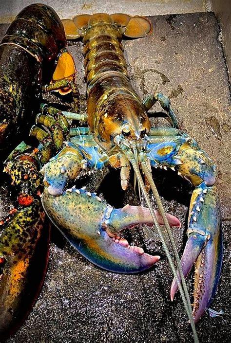Rainbow Lobster Landed Photos