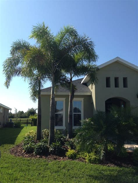 Foxtail Palms Have Become Very Popular In Florida, And