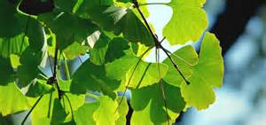 Ginkgo biloba- The Maidenhair tree- Improving health one person at a ...  Asthma Ginkgo Biloba