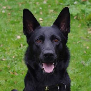 Quotes About Black German Shepherds. QuotesGram