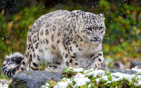 scary snow leopard wallpapers hd wallpapers chainimage