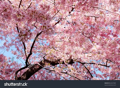 Cherry Blossom Background Lovely Pink Color Stock Photo