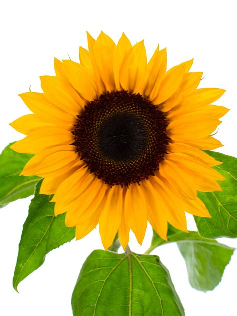 sonnenblume die kunstvolle thomas haenraets gbr
