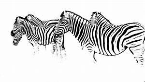Schwarz Weiß Bilder Tiere : zebra das ideale schwarz weiss tier foto bild monochrom bearbeitungs techniken digiart ~ Markanthonyermac.com Haus und Dekorationen