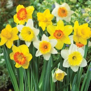 daffodil mix dormant bulbs 80 pack 70103 the home depot