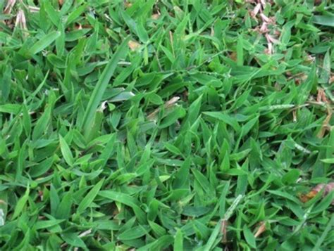 Crabgrass Was King  Eat The Weeds And Other Things, Too