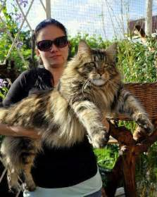 big maine coon cats for the big maine coon cat poc