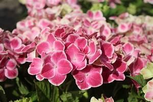 Hydrangea Macrophylla Winterhart : ballhortensie bauernhortensie 39 red ace 39 hydrangea ~ Michelbontemps.com Haus und Dekorationen