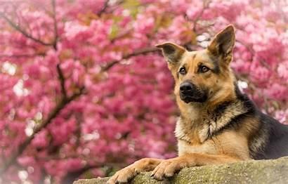 German Shepherd Spring Pink Waiting Dog Portrait