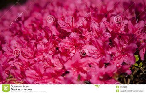 fiore giapponese fiore giapponese fiore di rosa caldo in giardino