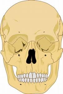 Human Skull Clip Art At Clker Com