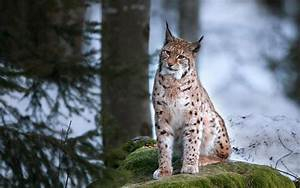 Call for lynx to be released in Scotland branded 'brazen ...