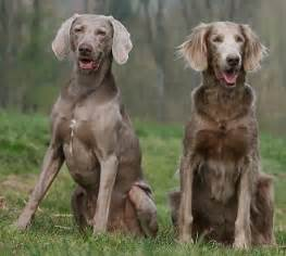 do weimaraners shed bunkblog