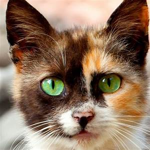 Gorgeous Calico! - Cat Smirk   Cute Kittens   Pinterest ...