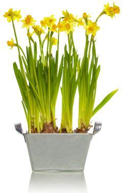 25 best ideas about daffodil bulbs on
