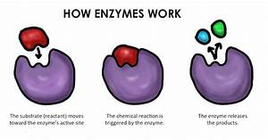 What Are Enzymes  Types Of Enzymes  And Why You Need Them