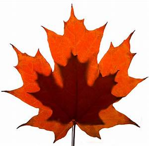 Fred Barnes Photo Blog: Maple leaves