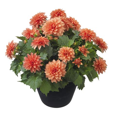 plant dahlias in pots dahlia rebel atom ant photo hilverdakooij