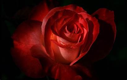 Rose Wallpapers Widescreen Resolutions 1280