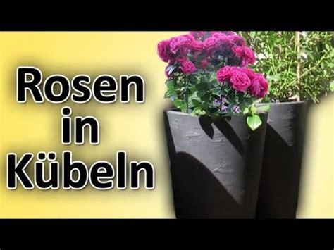 rosen richtig  balkon terrassen kuebelblumentoepfe