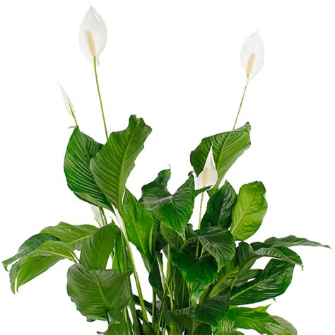 bloemen ziektes spathiphyllum verzorging 123planten nl