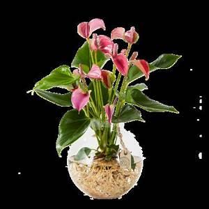 Anthurie Im Wasser : anthurie water plant von auf kaufen ~ Yasmunasinghe.com Haus und Dekorationen