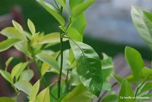 Planter Un Citronnier : comment planter un citronnier en pot digpres ~ Melissatoandfro.com Idées de Décoration