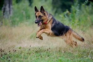 German Shepherd Police Dogs Video 5 Widescreen Wallpaper ...