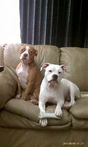 Red Nose American Bulldog Puppies | www.pixshark.com ...