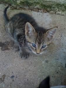 Cat Bobcat Mix Kittens