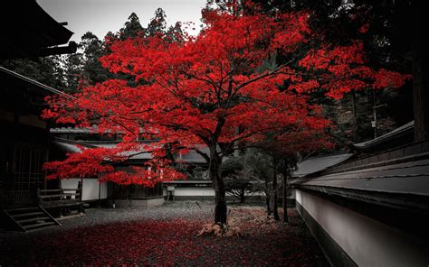 japan house tree red leaves autumn wallpaper travel
