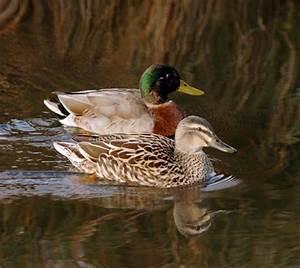 Male and female mallard ducks – Duck shooting – Te Ara ...