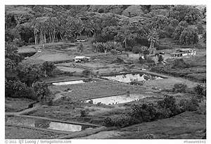 Black and White Picture/Photo: Taro fields and farms from ...