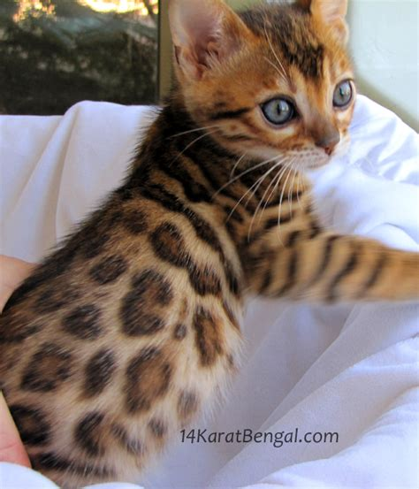 Kitten For Sale by Bengal Kittens For Sale Healthy Top Quality Bengal