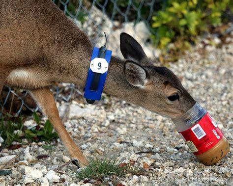 deer collared pregnant