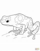 Frog Dart Poison Coloring Pages Yellow Banded Printable Drawing Frogs Rainforest Drawings 1600px Template Dot sketch template