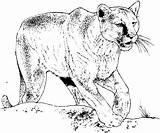 Coloring Pages Cougar Lion Panther Cat Printable Animal Realistic Mountain Children Cats Sheet Jaguar Burgess Animals Bobcat Pouncing Puma Books sketch template