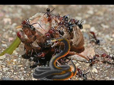 time lapse ants eating brave black army ants eat