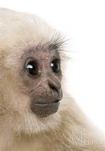 Baby Gibbon Monkey