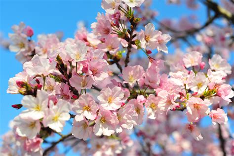 Cherry Blossom Image by Climate Change And The Washington Cherry Blossom Peak