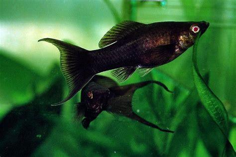 small black fish  aquarium aquarium design ideas