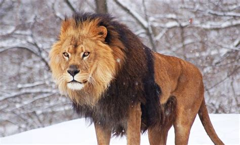 Lionslarge Cats  The Fastest Animals In The World