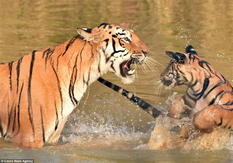 tiger mother cub mum hugging bathing child underwater adorable its cute though interacting touching looked showing mouth