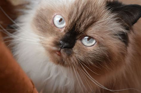 Himalayan Cat Wikipedia